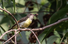 Purple rumped sunbird (johnthistle) Tags: india goa wood tree bush canon 100400mm 7dmkii branch green yellow sunbird purple wild purpledumpedsunbird twig stick leaves nature outside spider food lunch
