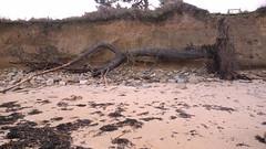 Erosion cotiêre à Plougrescant (claude 22) Tags: érosion marine côtière bretagne brittany breizh france mer sea coast beach plage submersion littoral erosion coastal cotes darmor trégor gr34 maritime plougrescant bretagna bretaña