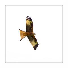 Milan A2 Rz2  Bd _MG_9057 (thierrybarre) Tags: royal milanroyal milan faune oiseau vol wings highkey ornithologie rapace aigle