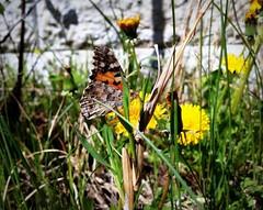 Butterfly (Anna Gelashvili) Tags: butterfly цветы flower flowers цветочки сад garden პეპელა macro insect