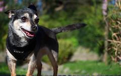 DSC_0012 (Alex Srdic) Tags: dog doggo doge chihuahua pet chihuahuas blackdog tinydog smalldog uk england portsmouth southsea milton rosegardens seafront park