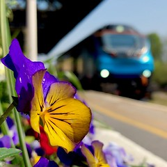 San Francisco (sjpowermac) Tags: flowers pansy viola melanium violet heartsease malton class68 driver training refresher 0b66 flowerbeds railway station cat 68024 centaur