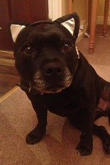 Bella Staffie 3 (alan.poskitt2) Tags: staffie staffordshire bull terrier