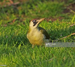 Green Woodpecker female (Gary Chalker, Thanks for over 4,000,000. views) Tags: woodpecker greenwoodpecker bird pentax pentaxk3ii k3ii pentaxfa600mmf4edif fa600mmf4edif fa600mm 600mm