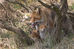 One Happy Family .. (Alex Verweij) Tags: welp vossen vos redfox redreinier alexverweij planetearth nature fox pups pup welpen moervos family kitten wild reinier