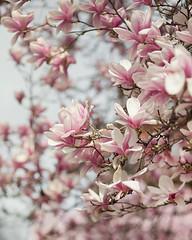 Magnolia (Jackie Rueda) Tags: magnolia spring tree flowers blooms pink boston massachusetts canon5dmarkiv 85mm wwwjackieruedacom jackierueda