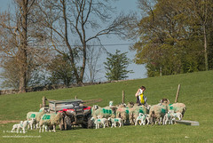 Grub Up! April 2019 (Richard Laidler) Tags: agriculture bluesky bright farmland feeding fine flock lambs livestock sheep spring sunny sunshine
