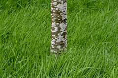 Tree and grass (maytag97) Tags: oregon garden maytag97 nikon d750 saturation green tree trunk white bark aspen grass saturated trees background grove nature forest beauty pattern natural looking wood vertical branch populus beautiful snow eyes blue photo texture spring season park