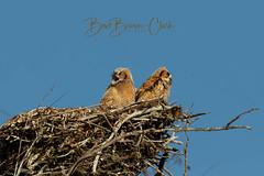 Great Horned Owlets (Beve Brown-Clark) Tags: owls owlets greathornedowls greathornedowlets bird birdofprey bevebrownclark nature wildlife florida usa