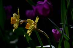 colourful - springtime (Yoma29) Tags: tulips springtime frühling light colourful blossom sunshine closeup makro