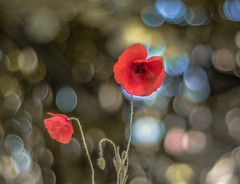 Papaver rhoeas (Torok_Bea) Tags: papaverrhoeas flowers flower bokeh beautiful nikon natur nature nikond wonderful pipacs papaver wild wildflower carlzeiss carlzeissplanar