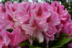 DSC_0201 (griecocathy) Tags: macro plante bouquet fleurs feuille étamines gouttelette eau lumineux vert rose grena
