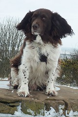 Benjy (billnbenj) Tags: benjy spaniel springerspaniel king kingofhowtunwoods dog barrow cumbria snow