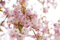 Pinkly gorgeous (judy dean) Tags: judydean 2019 lensbaby batsford arboretum cherry blossom soft pink velvet56 plants gardens spring
