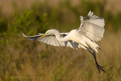 Great Egret (Kevin James54) Tags: ardeaalba greategret nikond850 tamron150600mm wilmington animals avian bird egret kevingianniniphotocom