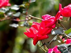 P1010034 -1R (hyphy2008) Tags: zeiss sonnar 135mm f4 contax rf bokeh flowers garden