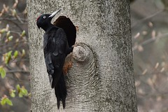 Zwarte specht (black woodpecker) (mariogrievink) Tags: blackwoodpecker zwartespecht birds natuurnederland vogels dutchnature d500 tamron150600mmg2