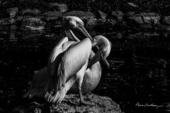 Croisons le fer (Anne Sarthou . Photographie) Tags: beauval animal animaux animals zoo zooparc animalier oiseau pelican