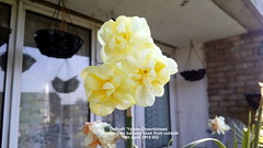 Daffodil 'Yellow Cheerfulness' flowering on balcony seen from outside 15th April 2019 002 (D@viD_2.011) Tags: daffodil yellow cheerfulness flowering balcony seen from outside 15th april 2019