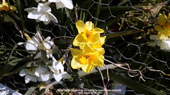 Mini-Daffs flowering on balcony seen from outside 15th April 2019 001 (D@viD_2.011) Tags: minidaffs flowering balcony seen from outside 15th april 2019
