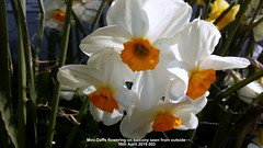 Mini-Daffs flowering on balcony seen from outside 15th April 2019 003 (D@viD_2.011) Tags: minidaffs flowering balcony seen from outside 15th april 2019