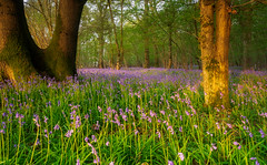 Harewood Forest,  Wherwell (ditchburnhilary) Tags: bluebells low light hampshire harewood forest