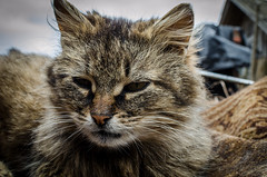 Closeup portrait of a cat (ivan_volchek) Tags: cat animal pet feline kitten eyes fur cute portrait mammal domestic eye face angry outdoors nature kitty head pets beautiful wildcat wild wildlife sweet