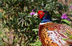 Pheasant. (Chris Kilpatrick) Tags: chris canon canon7dmk2 outdoor wildlife nature bird pheasant douglas isleofman animal april sigma150mm600mm sigma signsofspring springwatch