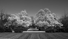 Monochrome Magnolias (Jim Frazier) Tags: 2019 20190327cantignyphasetwoiscoming 20190420cantigny 2019cantigny 3d3layer bw april beautiful beauty blackandwhite bloom blooming blossoming blossoms bluesky botanic botanicgarden botanicalgarden botanicalgardens burgeoning burgeons cantigny cantignypark centered centralperspective desaturated dupage dupagecounty flora floral flourishing flowering flowers forbs fountain fountaingarden garden gardening gardens grass growing headon horticulture il illinois jimfraziercom landscape lawn linedup magnolia monochrome museum nature park parks perpendicular plants pov preserve publicgarden q4 scenery scenic spring sunny symmetrical symmetry tree trees turf visitorcenter wheaton