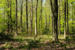 White Down woods, Surrey (tonybill) Tags: april northdowns sonya7riii sonyfe24105mmf4 sunshine surrey whitedown bluebellwood bluebells bokeh