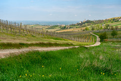 Vineyards of Oltrepo Pavese in April (clodio61) Tags: april europe italy lombardy oltrepopavese pavia agriculture color country day field flower grass green hill land landscape nature outdoor path photography plant road rural scenic spring springtime sunny village vine vineyard yellow