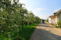 West-Betuwe: blossom time (H. Bos) Tags: rumpt betuwe westbetuwe lingeroute bloesem blossom voorjaar spring holland typischhollands