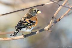 Déjà loin... (DorianHunt) Tags: birds bokeh servion backyard switzerland february 2019 brambling nikond500 sigma 150600mm