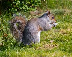 IMG_7126.jpg (Alex Meek) Tags: wildlife squirrel spring