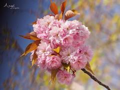 Prunus (Wilma van Oorschot) Tags: wilmavanoorschot angelphotography olympusem5 olympusomde5 olympus panasoniclumixgxvario35100mmf28ii prunusserrulata spring blossom flowers nature outdoor pink