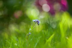 Forget-Me-Not (paulapics2) Tags: forgetmenot flower flora nature garden grass bokeh depthoffield