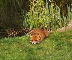 When Foxes Blow Raspberries! (Deepgreen2009) Tags: raspberry blowing face expression funny fox vixen dog canine wildlife garden home