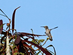 Costa's Hummingbird, female landing (manzanita-pct) Tags: trochilidae