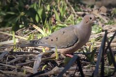Mourning Dove (rgdaniel) Tags: bird birds mourningdove mourning dove