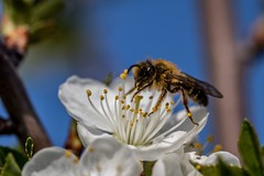Biene auf Kirschblüte (stefanendres) Tags: nektar himmel blütenstaub sonne spring bayern unterfranken kleinrinderfeld stefan endres canon macro 105mm sigma 760d eos frühling honey honig bee kirsch blüte blüten biene