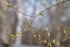 Spring is here! (JarkkoS) Tags: 70200mmf28efledvr d500 finland helsinki pihlajasaari tc17eii tree uusimaa