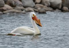 Monona-Bay-Pelicans_MFD2503-FLNS-7 (M F Davis) Tags: mononabay madisonwisconsin madison wisconsin bay lake water large bird white flying flight pelican americanwhitepelican