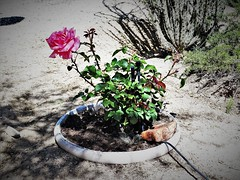20190415 John's new rose in a buried pot at a very hot location (lasertrimman) Tags: 20190415 johns new rose buried pot very hot location
