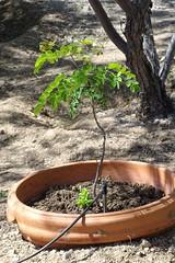 20190415 John's new bird of paradise in a buried pot (lasertrimman) Tags: 20190415 johns new bird paradise buried pot