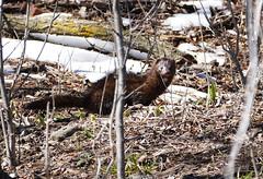 Mink! (Lynnemvt) Tags: april 15 2019 spring nature wild animal americanmink carnivore excellentswimmer semiaquatic webbedfeet waterproofcoat longthicktail wisconsin