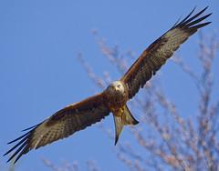 Red kite, Spring blossom. (mond.raymond1904) Tags: wicklow red kite flight