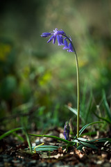 Bluebells (Phillip Kerins) Tags: bluebell islandwood newmarket cork ireland spring forest wood flower