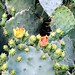 PHX Desert Botanical Garden Prickly Pear Blooms IMG_2179