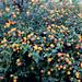 PHX Desert Botanical Garden Lantana IMG_2175