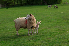 20190418 0087 Ewe With Lamb Field Walk Kibworth Harcourt Leicestershire (rodtuk) Tags: 4star agricultural england flipublic flickr food kibworth kibworthharcourt leicestershire mammal midlands misc nature phototype places rating uk wip